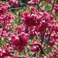 寒緋桜~名城公園