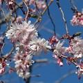 十月桜~浅草寺