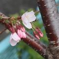 Photos: 開花~逗子