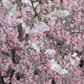 Photos: 桜~隅田川