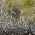 写真: カエルの卵