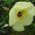 写真: 花オクラ1