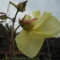 写真: 花オクラ2