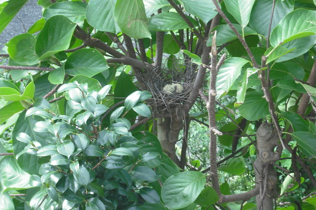 写真: 山鳩ヒナ孵る