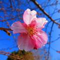 写真: 美しく咲き出しました~