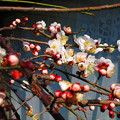 写真: しだれ梅、咲き出しましたね。