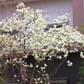 写真: 咲く誇る木蓮