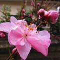 花桃が咲き出しました~