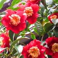 競って咲く椿