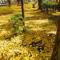 写真: 黄金の絨毯・・?
