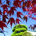写真: 青空に紅葉