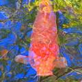 写真: 立派な鯉ですね~