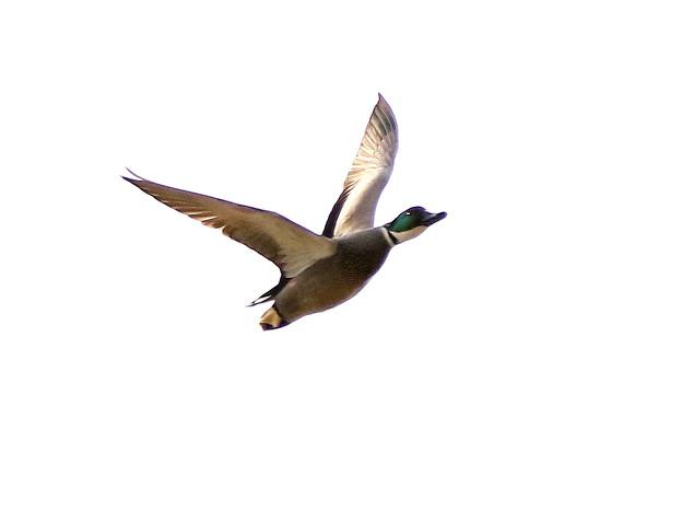 ヨシガモ飛翔1