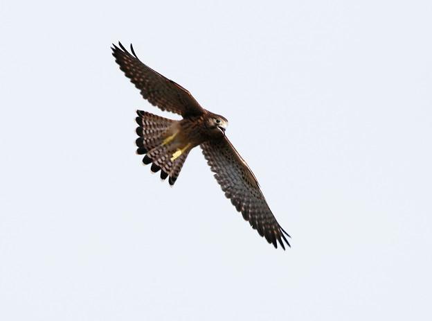 幼鳥-飛翔-3