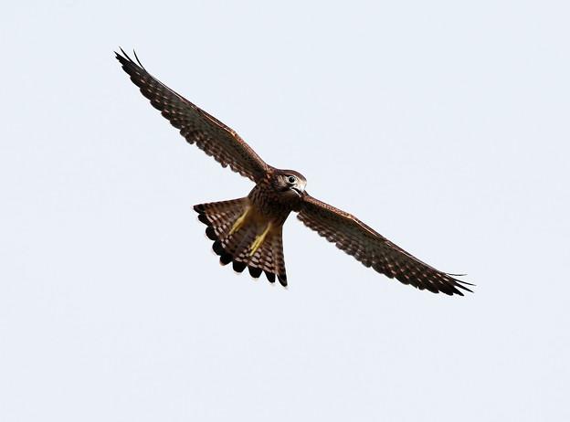 幼鳥-飛翔-2