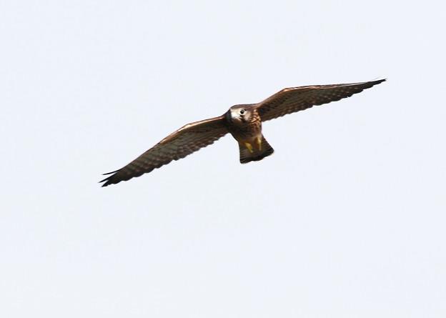 幼鳥-飛翔-1