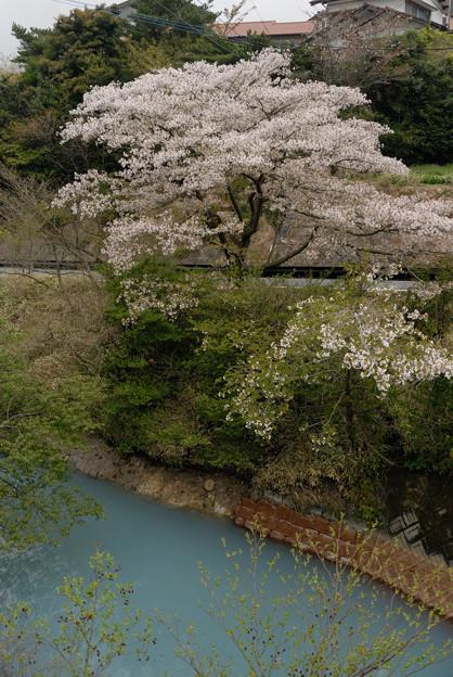 写真: 鴛鴦池の桜2