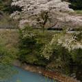 鴛鴦池の桜2