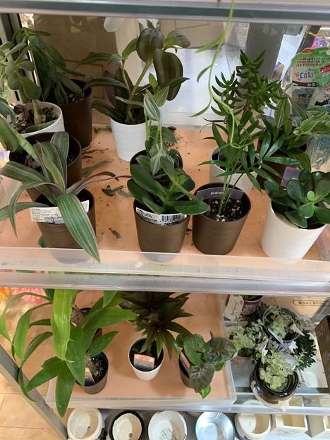 渕上真希観葉植物を育てます!その1