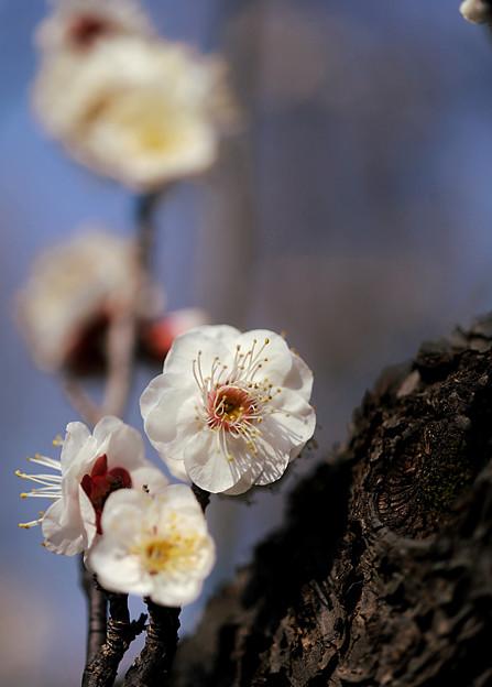 古木にも春が来たぁ~♪