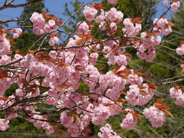 Photos: 高野山の八重桜