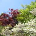 写真: 春紅葉と緑と馬酔木