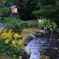 写真: ツワブキと曲水  兼六園