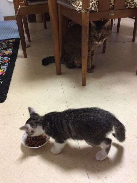 子猫にご飯を取られる天兄ちゃん