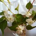 八重の花のドクダミ