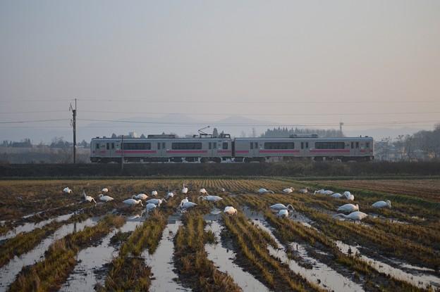 701系電車と白鳥-奥羽本線