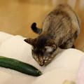 Photos: 猫にキュウリ2