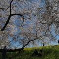 写真: 満開の熊谷桜堤ー2