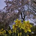 Photos: 水仙と枝垂桜