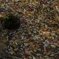 落ち葉の彩2 (1)