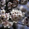 写真: 寒桜咲く