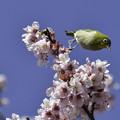 写真: 寒桜にメジロ