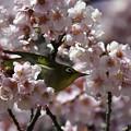 寒桜にメジロ