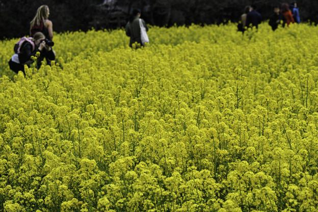 菜の花畑 (43 - 1)