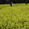 写真: 菜の花畑 (43 - 1)