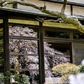 写真: 満開「しだれ桜」