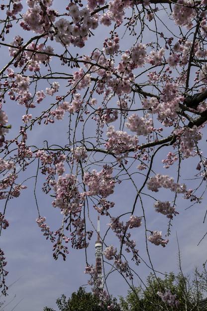 枝垂れ桜の先に