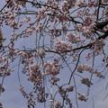 Photos: 枝垂れ桜の先に