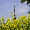 タワーと菜の花