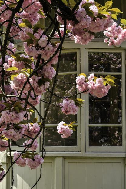 洋館と八重桜