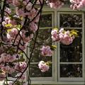 写真: 洋館と八重桜