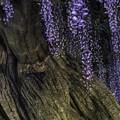写真: 紫藤