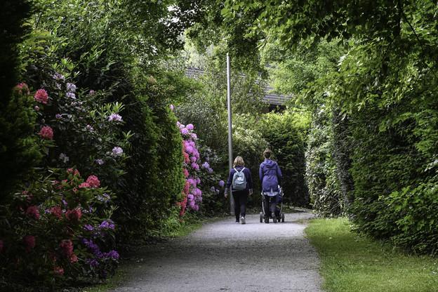 シャクナゲ咲く散歩道