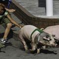 Photos: 豚レース
