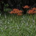 写真: ツルボと彼岸花