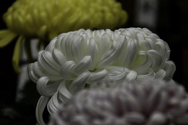 写真: 大菊